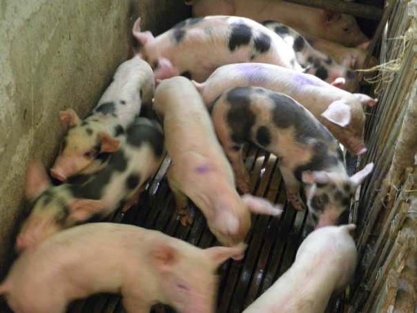 Piglets are often sold at the public market when they are weaned at 4-6 weeks.