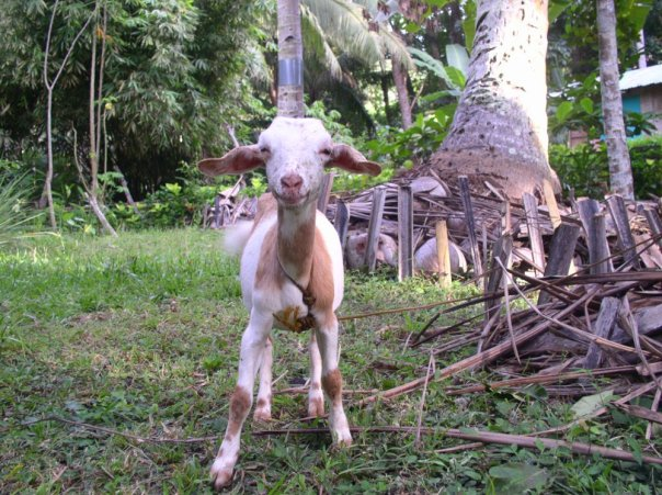Our first goat Buttercup at 3 months old in October 2011.