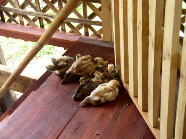 We spoiled the chicks and let them stay up on the balcony. Later, that became a problem as they insisted on staying there.