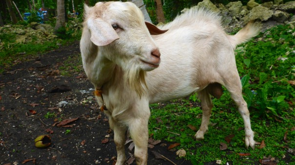 Creamy Latte, now our big billy goat. Here he is 1 year and 4 months old.