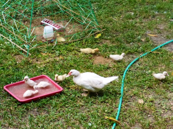 Duck hen with her chicks having a well-accomplished bath in a tray of water.