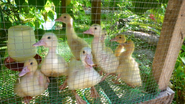 We have decided to keep the ducklings in a coop in order to prevent them getting killed by crushing by larger ducks. Here ducklings at 3 weeks old.