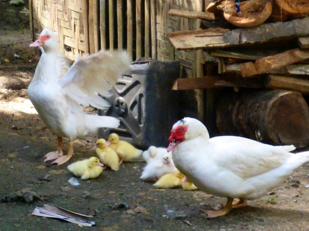 The domestic Muscovy drake (male) and hen (female) with their ducklings.