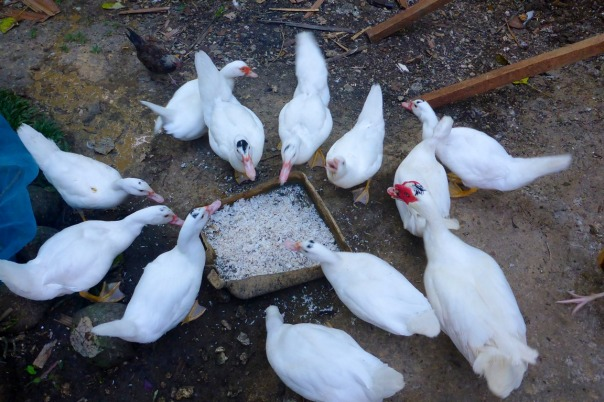 Here are the ducks eating grated coconut meat.