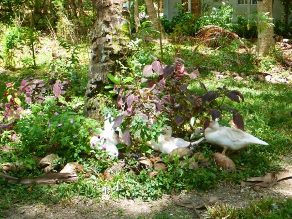 Here are the ducks relaxing amongst garden vegetation.