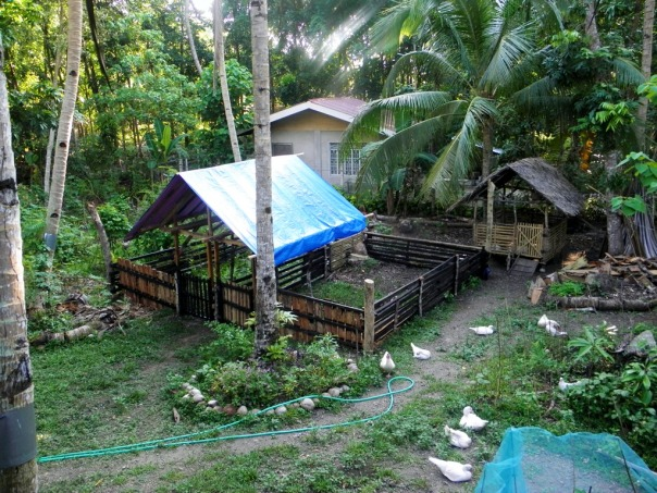 This photo shows the pig pens (with the blue tarpaulin roof) and just behind that, the little goat house with the nipa roof.