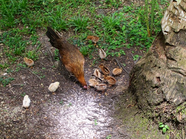 Here is a hen and her chicks eating grated coconuts, taken in 2011. We tried supplementing chicken feed with food found in the garden. I am currently trying to get back into fermenting food for the chickens, ducks and pig.