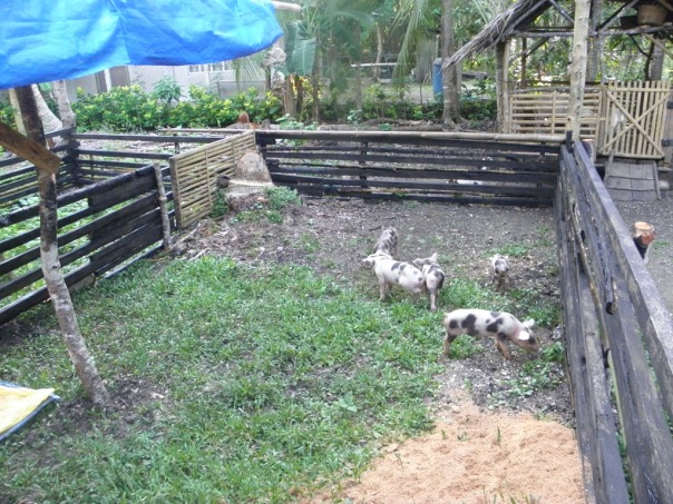 Here are new piglets - about 1 month and 14 days old - enjoying the spacious pig pen. We got these from a guy in the village who has a sow (on a third-share investment scheme).