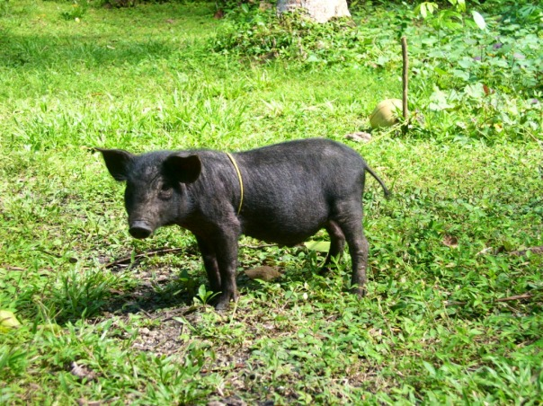 In 2011 we got a black native pig.