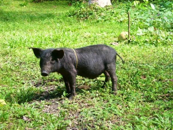 In 2011 we got a black native pig.