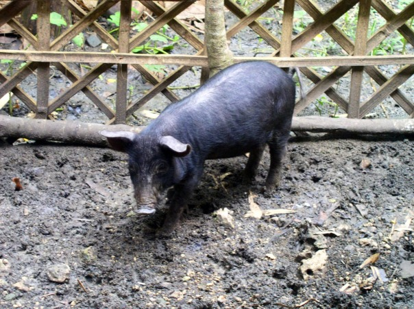 The native pig in the newly repaired pig pen.