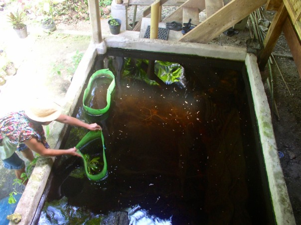 The tilapia are a voracious fish and will eat almost anything organic. To keep them from eating up all the water plants, these nettings are used.