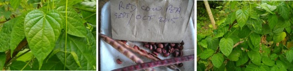 RED COW PEA