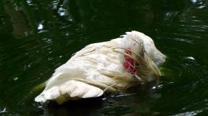 duckbath10