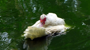 duckbath11