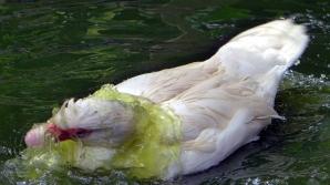 duckbath4