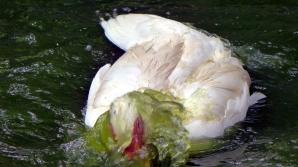 duckbath7