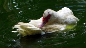 duckbath9