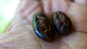 Cacao bean on the left was roasted with skin on and the one on the right was roasted without skin.