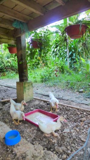 duckfattening2
